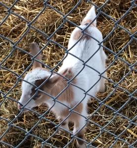 A goat toddler
