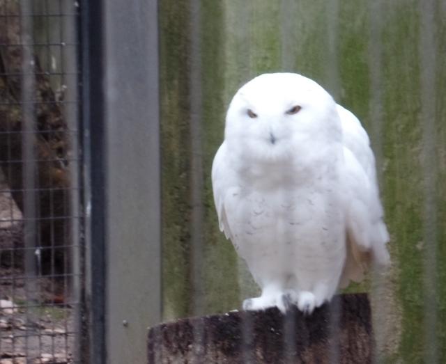 Bronx Zoo owl