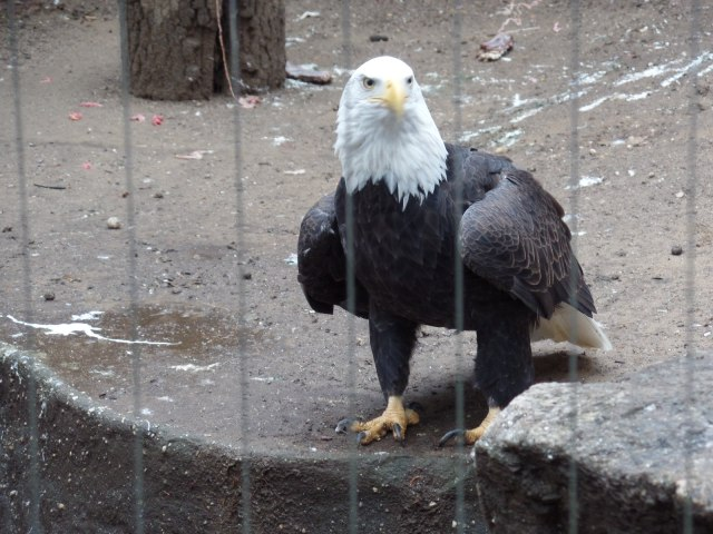 Eagle at Bronx Zoo