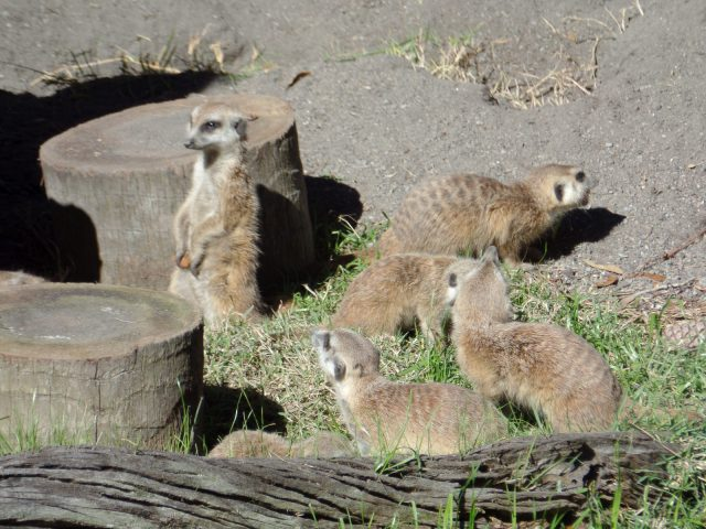 Meercats at Animal Kingdom at Disney World