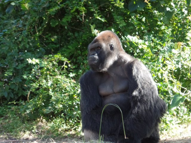 Gorilla at Animal Kingdom in Disney World