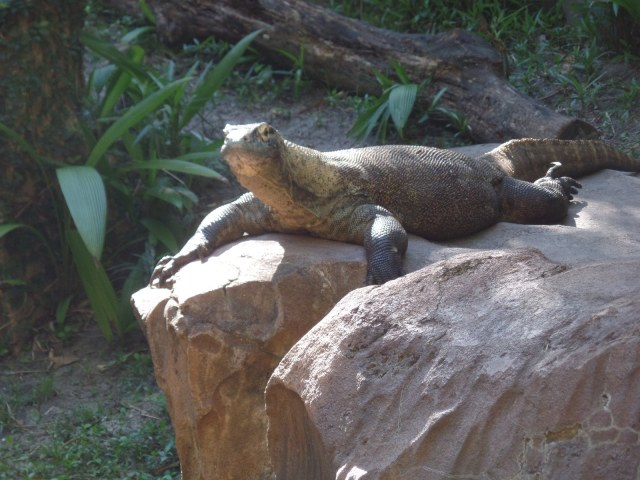 Komodo Dragon at Animal Kingdomn in Disney Wordl