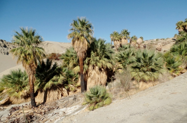 Caslifornia palms damaged by fire