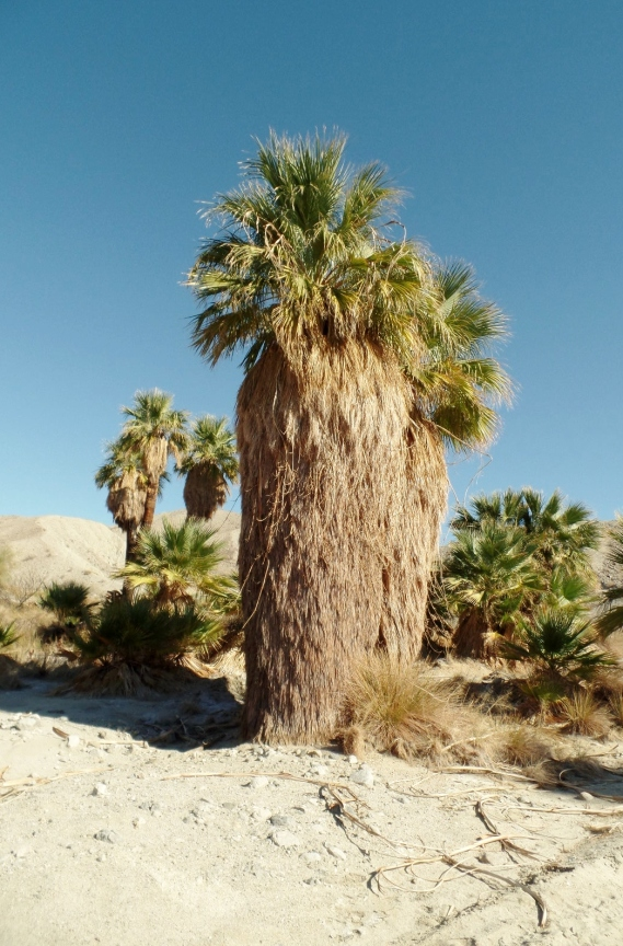 The California Fan Palm