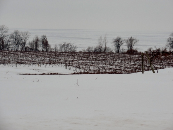 The vineyards in winter