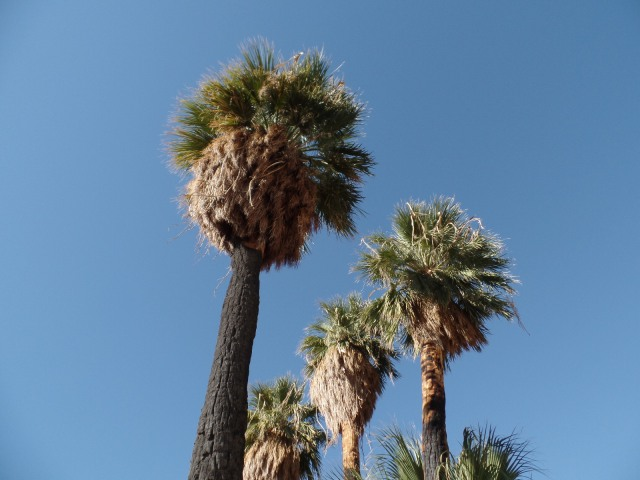 California fan palms in the Sonoran Desert