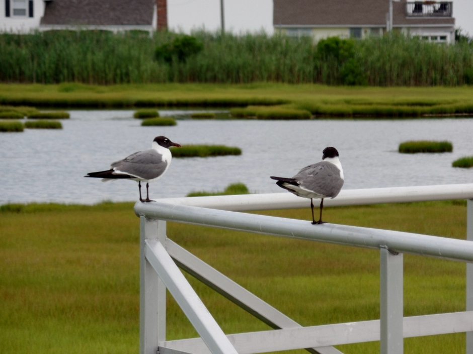 Salt marsh birds