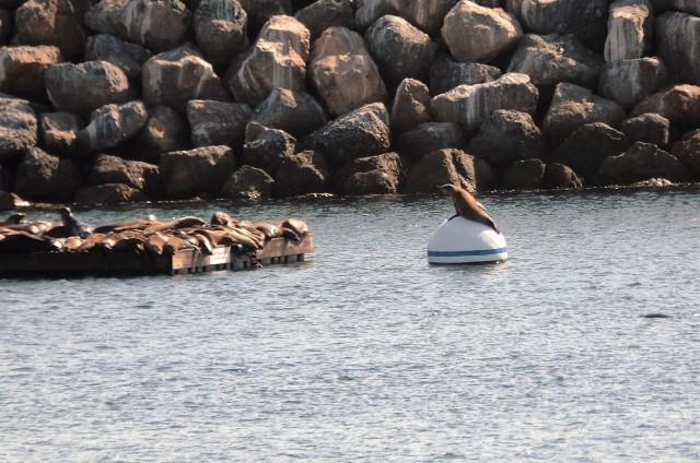 Sea lions at Redondo Beach