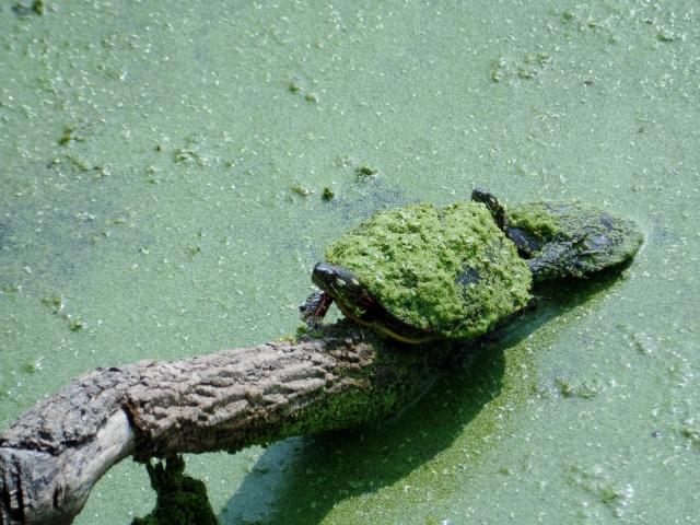 Pochuck turtle