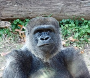 Inquisitive gorilla