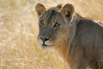 a soulful looking lion