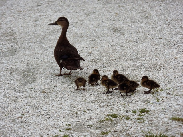 Duck with seven ducklings