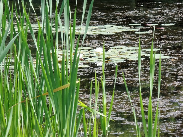 Lillies in the lake