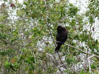 Mayakoba blackbird