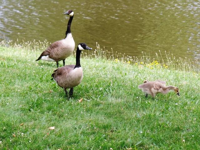 Geese in Edgemont park