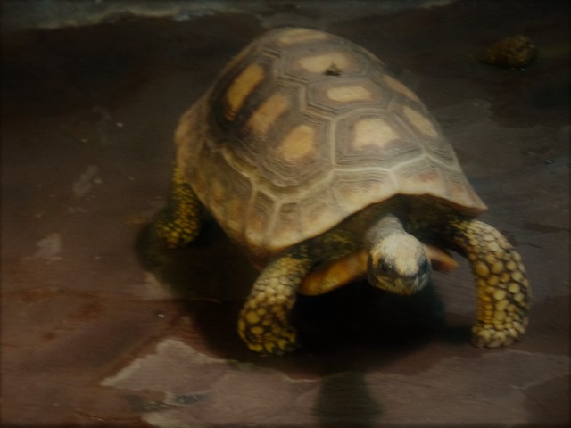 Cape May Zoo turtle