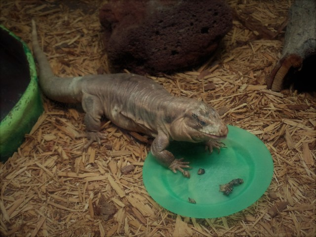 lizard eating lunch