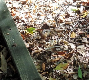 Great Swamp chipmunk