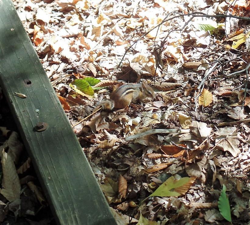 Great Swamp chipmunk