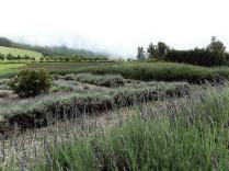 fields of lavender