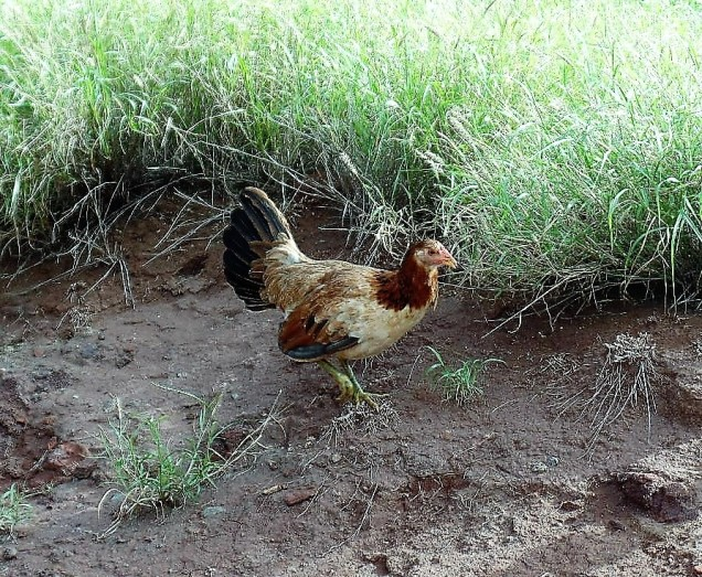Chicken in Maui