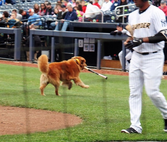 Rookie, the Trenton Thunder's bat dog