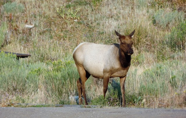 Adult elk at Mammoth Hot Springs