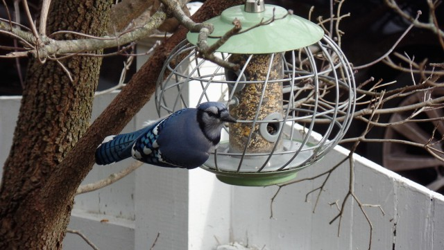 Blue jay at bird feeder