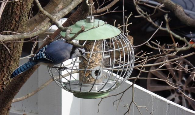 Blue jay at bird feeder