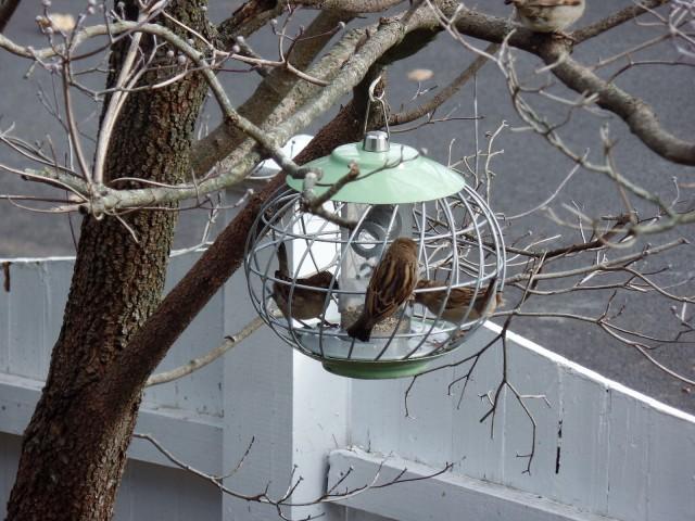 Sparrows at bird feeder