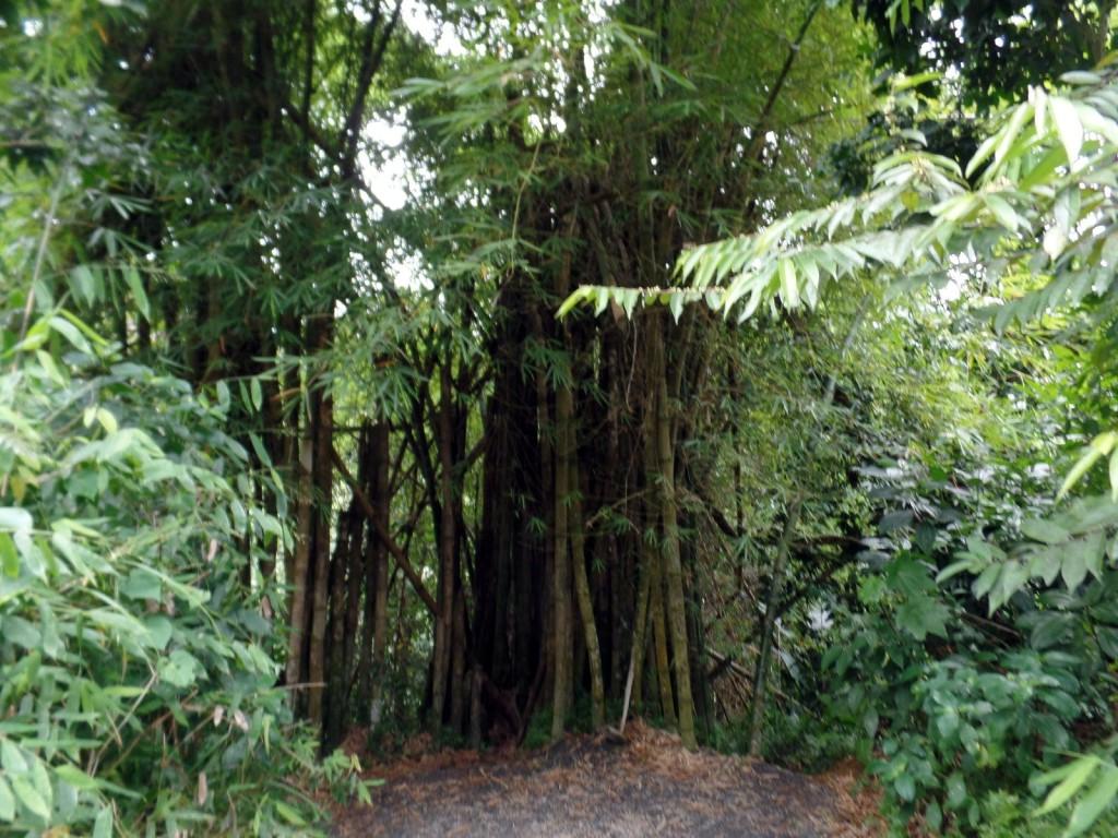 Bamboo in El Yunque