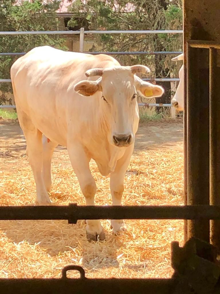 Tuscany cows