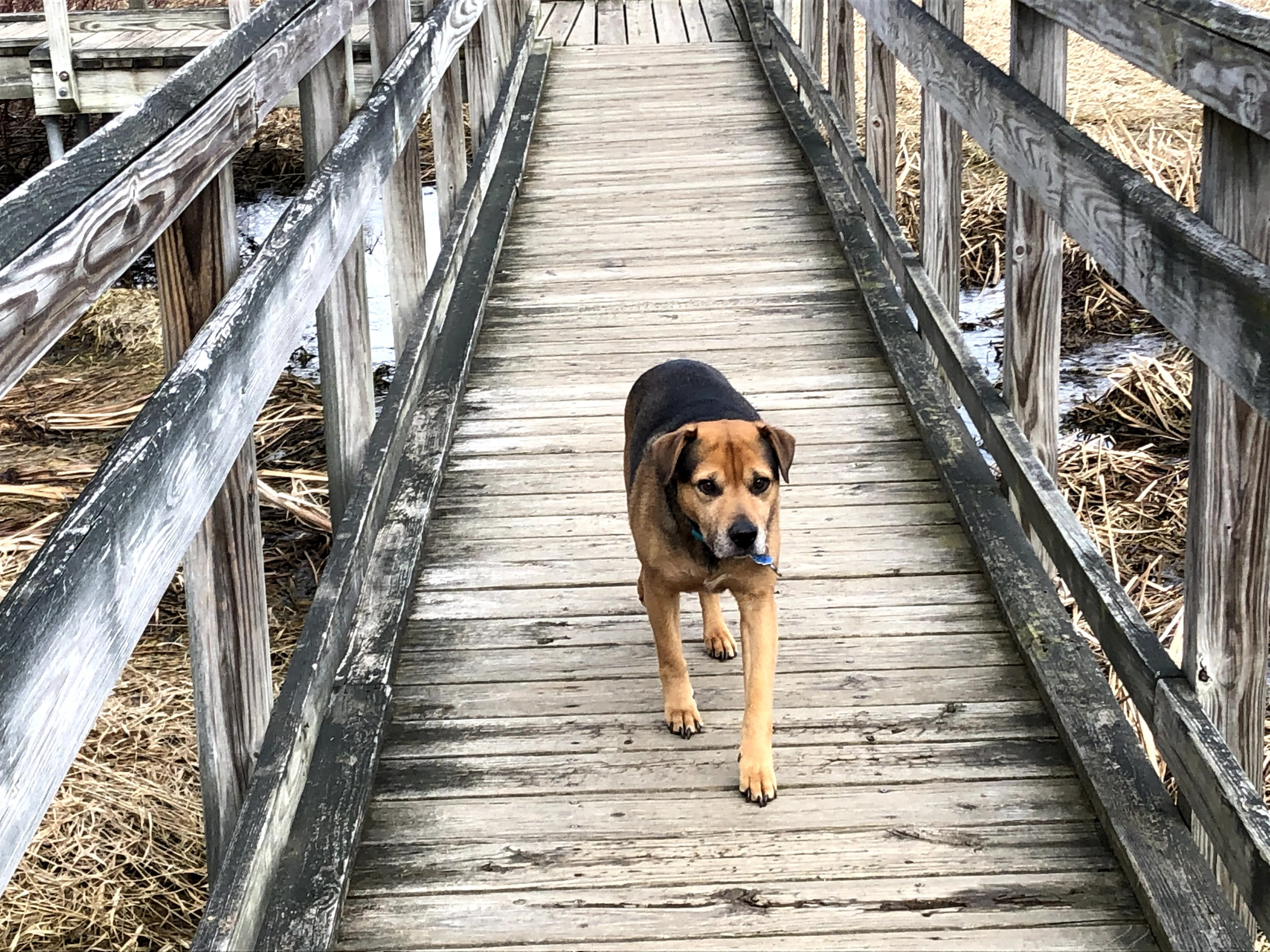 Pepper crossing the bridge