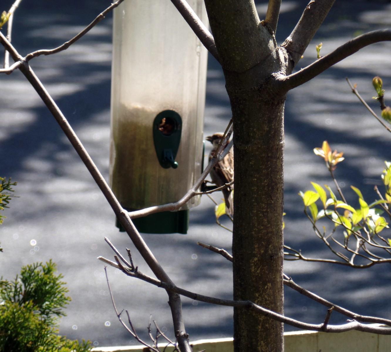 backyard sparrow