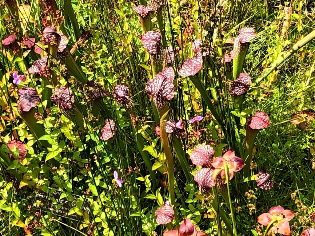 Hybrid pitcher plant