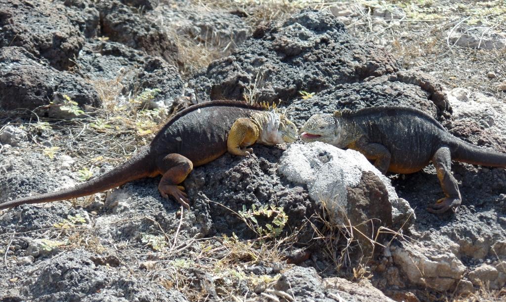 Iguana fight