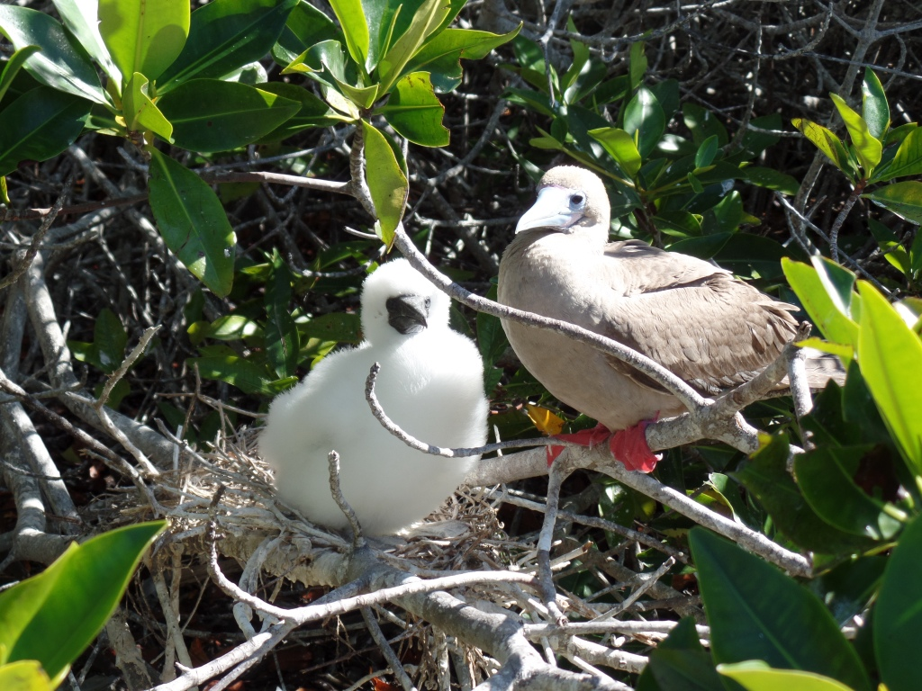 Red-footed booby with offspring