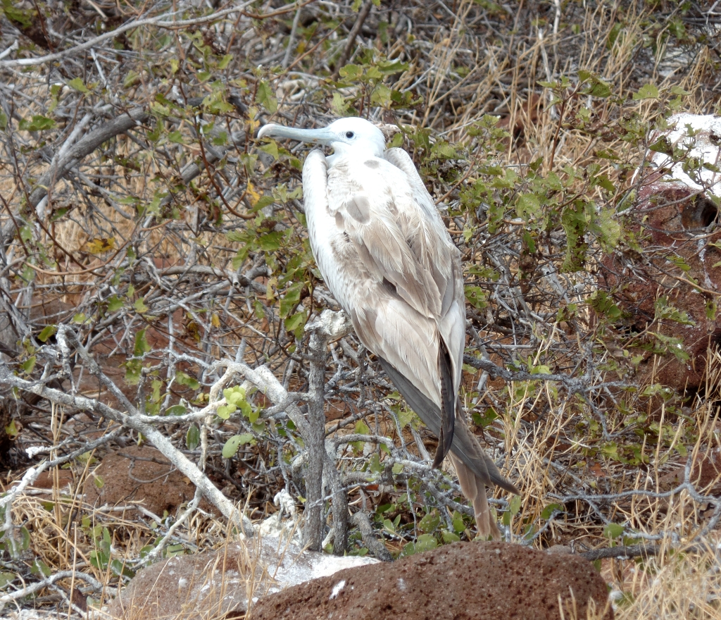 White frigatebird